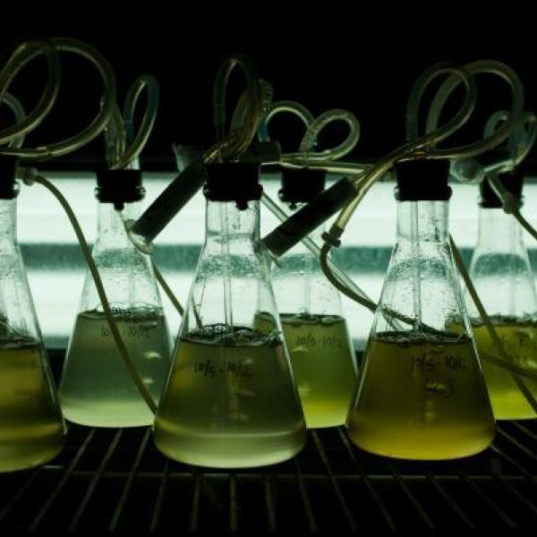 Algae cultures