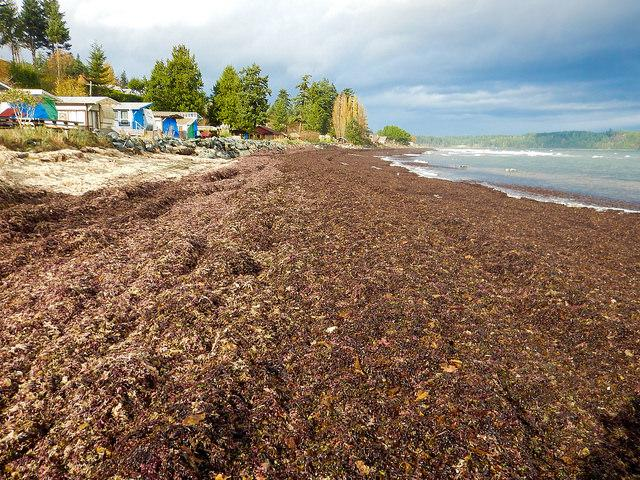 Monitoring seaweed:  Deep Bay